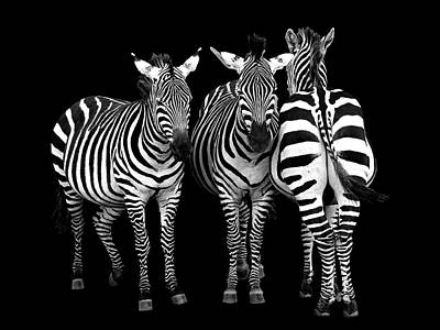 Photograph - Zebra - Three's A Crowd by Gill Billington