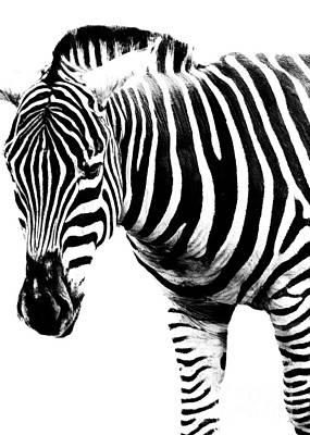 Photograph - Zebra Time by Hal Halli