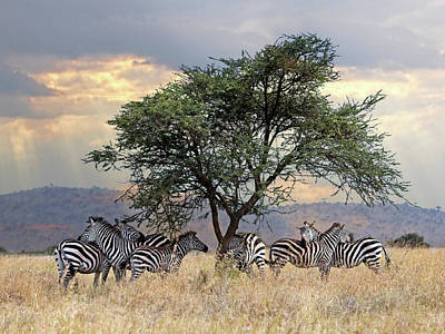 Photograph - Zebra Under Tree In Africa by Gill Billington