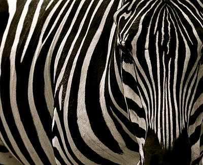 Photograph - Zebra Up Close by Caroline Reyes-Loughrey