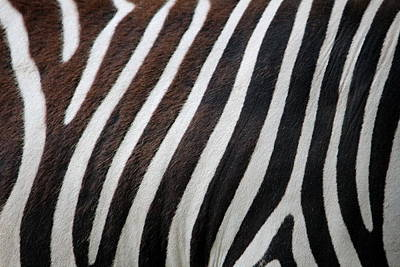 Animales Photograph - Zebra Wall Design by Heike Hultsch