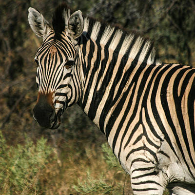 Art Print featuring the photograph Zebra Watching Sq by Karen Zuk Rosenblatt