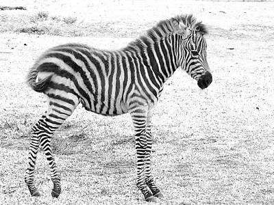Photograph - Zebra White And Black Photography by David Mckinney