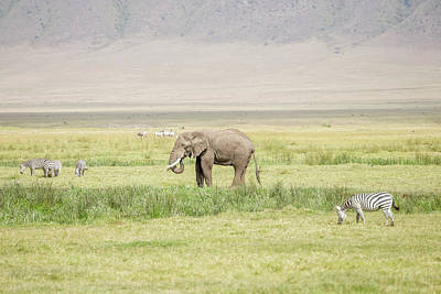 Photograph - Zebras And African Elephant In Serengeti National Park by Marek Poplawski