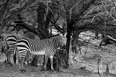 Photograph - Zebras Black And White V 18 by Douglas Barnard