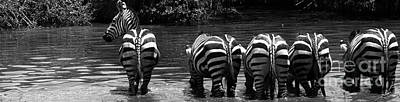 Zebras Cautiously Drinking Art Print