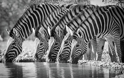 Zebra Photograph - Zebras Drinking by Inge Johnsson