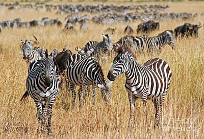 Photograph - Zebras, East Africa, Wildlife by Wibke W