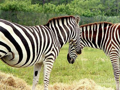 Photograph - Zebras Eating At Lion Country Safari by Merton Allen