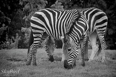 Pittsburgh Zoo Photograph - Zebras In Black And White by Megan Miller