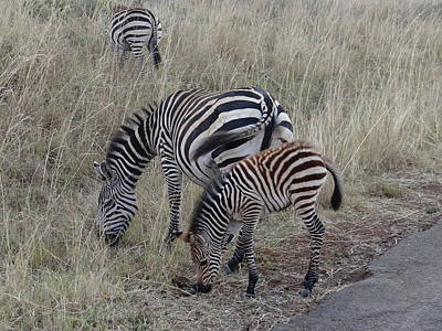 Unschooling Photograph - Zebras In Kenya 1 by Exploramum Exploramum