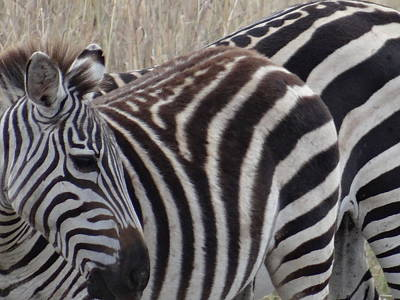 Exploramum Wall Art - Photograph - Zebras In Kenya 5 by Exploramum Exploramum
