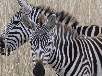 Exploramum Wall Art - Photograph - Zebras In Kenya 6 by Exploramum Exploramum
