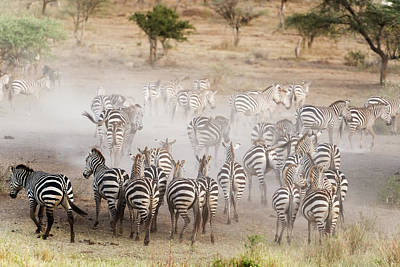 Through The Viewfinder - Zebras in Serengeti National Park by Marek Poplawski
