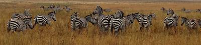 Zebras In The Grass - Panoramic Art Print