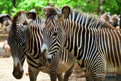 Photograph - Zebras by Jill Lang