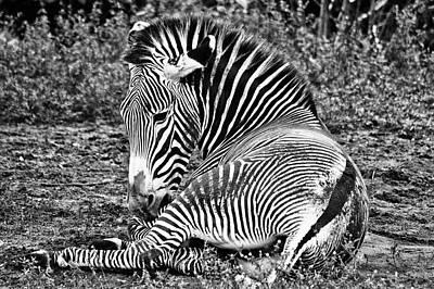 Photograph - Zebras by Juan Trujillo