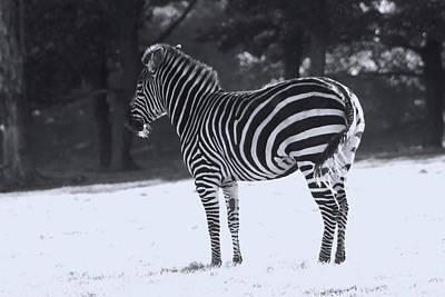Photograph - Zebras - Knowsley Safari Park In England by Doc Braham
