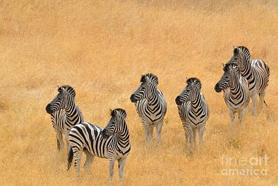 Photograph - Zebras by Laurianna Taylor