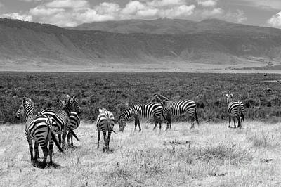Of Zebra Grazing Photograph - Zebras Of The Crater by Shawn Dechant