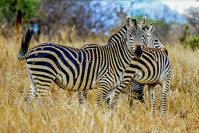 Photograph - Zebras On The Tarangire by Marilyn Burton