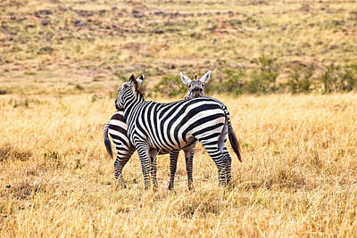 Photograph - Zebras Resting In The Masai Mara by Perla Copernik