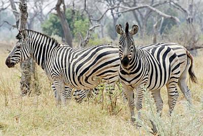 Zebras Art Print by Robert Shard
