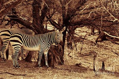 Photograph - Zebras Sepia by Douglas Barnard