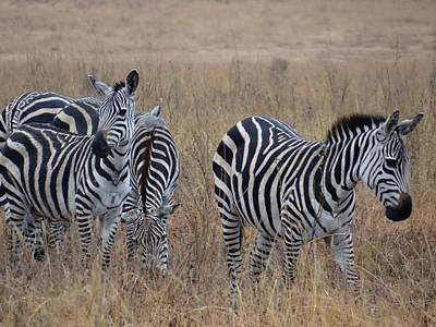 Exploramum Wall Art - Photograph - Zebras Walking In The Grass 1 by Exploramum Exploramum