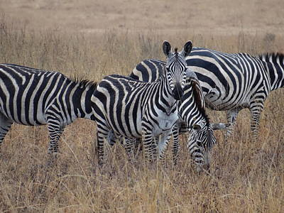 Exploramum Photograph - Zebras Walking In The Grass 2 by Exploramum Exploramum