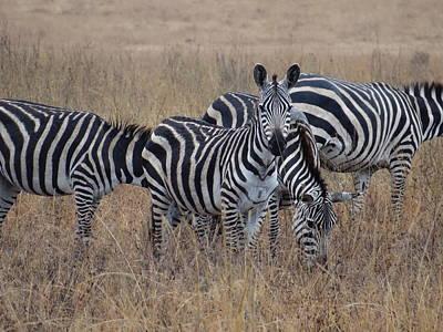 Explorason Photograph - Zebras Walking In The Grass 2 by Exploramum Exploramum