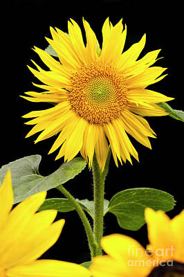 Photograph - Zebulon Sunflower by Alan L Graham