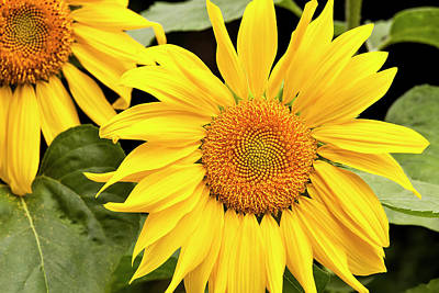 Photograph - Zebulon Sunflower Garden by Alan L Graham