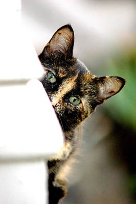 Calico Cat Photograph - Zelda by Emily Stauring