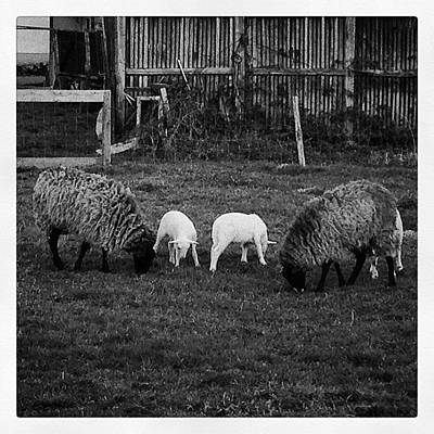 Sheep Photograph - #zelina #croatia #hrvatska #sheep #lamb by Borna Buinac