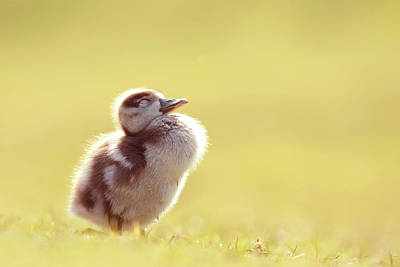 Cute Bird Photograph - Zen Bird - Gosling Enjoying The Sun Light by Roeselien Raimond