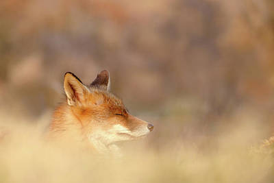 Beautiful Faces Photograph - Zen Fox Series - Dream Fox by Roeselien Raimond