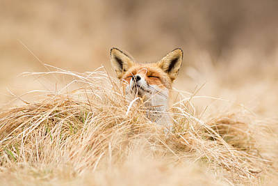 Fox Photograph - Zen Fox Series - Zen Fox 2.7 by Roeselien Raimond