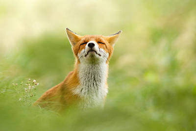 Fox Wall Art - Photograph - Zen Fox Series - Zen Fox Does It Agian by Roeselien Raimond