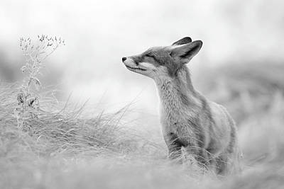 Zen Fox Series - Zen Fox In Black And White Art Print
