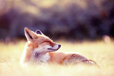 Zen Fox Series -zen Fox In Summer Mood Art Print