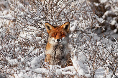 Zen Fox Series - Zen Fox In The Snow Art Print by Roeselien Raimond