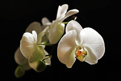 Photograph - Zen White Orchid Wall Art by Georgiana Romanovna