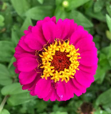 Photograph - Zinnia Flower by Jack Nevitt