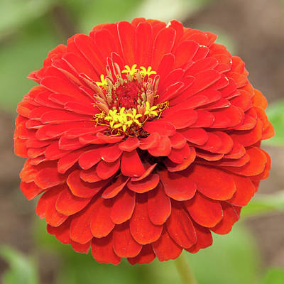Photograph - Zesty Zinnia by Dee Dee Whittle