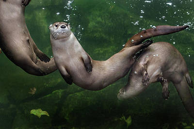 Photograph - Zig-zagging Otters by Greg Nyquist