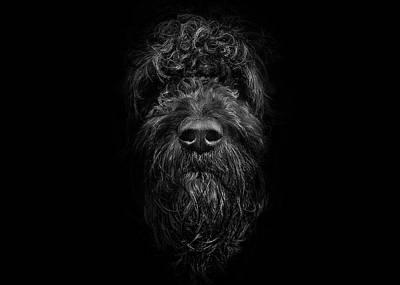 Photograph - Ziggy Portrait No 2 by Brian Carson