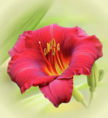 Photograph - Zinger - Daylily by MTBobbins Photography