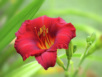 Photograph - Zinger Red - Daylily - Horizontal by MTBobbins Photography