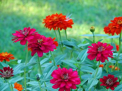Zinna Photograph - Zinnias by Lori Blevins